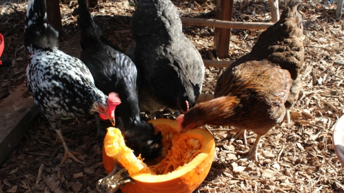 Chickens eating a pumpking